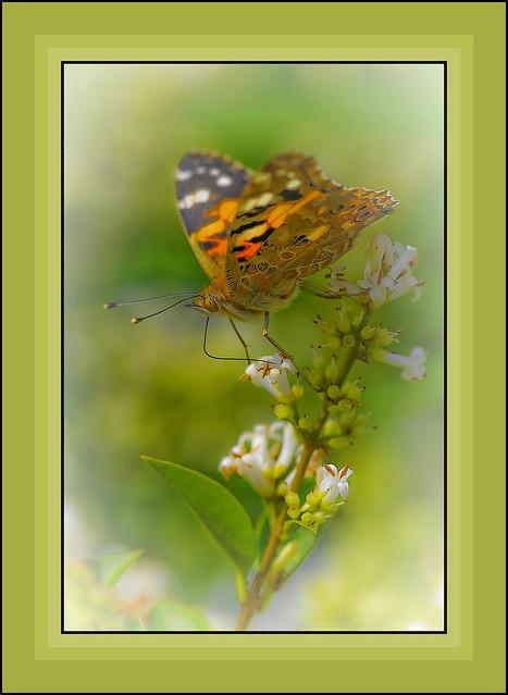 macro sur papillon