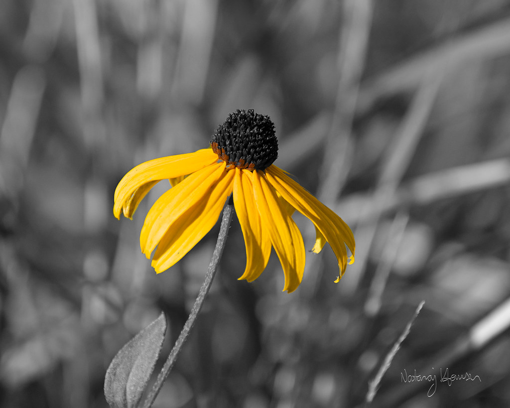 Black-Eyed Susan 1 by nataraj_hauser / eyeDance