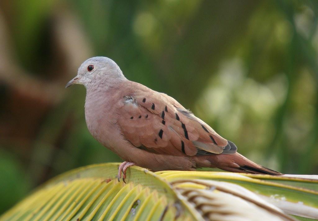 Imagen de una de las aves del Quindio: Tórtola común (Columbina talpacoti)