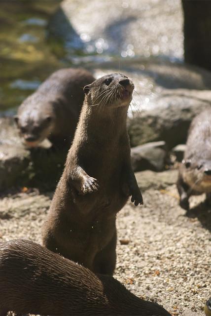 Begging otter