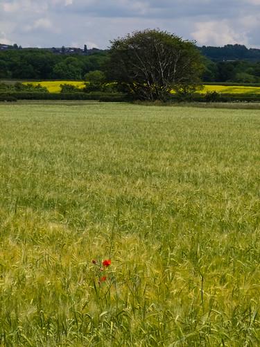 Lone poppy in a wheat field
