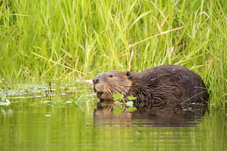 North American beaver (Castor canadensis) | by Chris_Moody