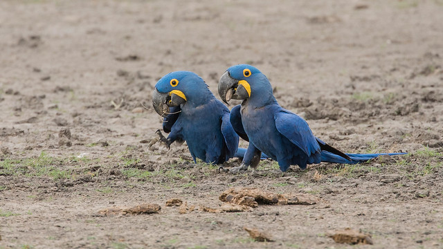 Hyacinth Macaws - with Acuri nuts from cow poo