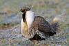 Greater Sage-Grouse, Coalmont, Jackson, Colorado by Terathopius