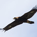 Flickr photo 'Aquila chrysaetos' by: Blake Matheson.