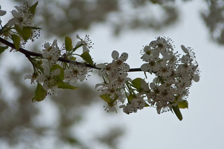 Flowering Branch | by chazlever