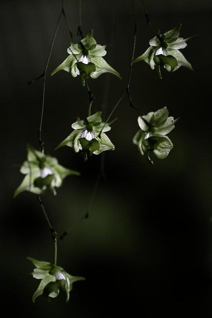 Aeranthes ramosa linearifolium-1