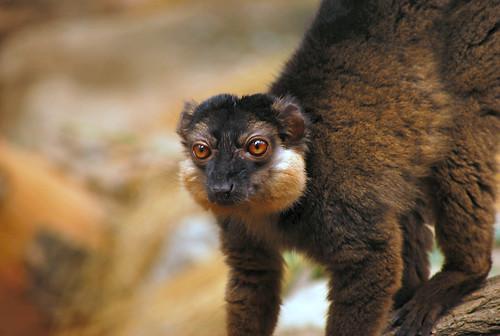 Collared Lemur | by Alberto_VO5