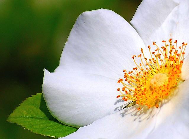 Cherokee Rose (Rosa laevigata) also known as Camellia Rose