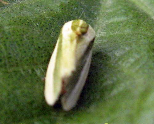 ADULT OF SPOTTED BOLLWORM