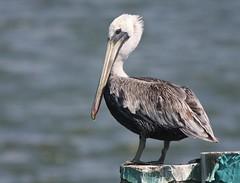 Brown Pelican, Fort DeSoto Park, Tierra Verde, FL
