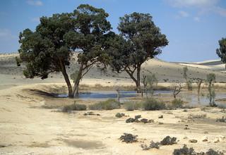 Blueprint Negev trees in the Israeli desert | by david_shankbone