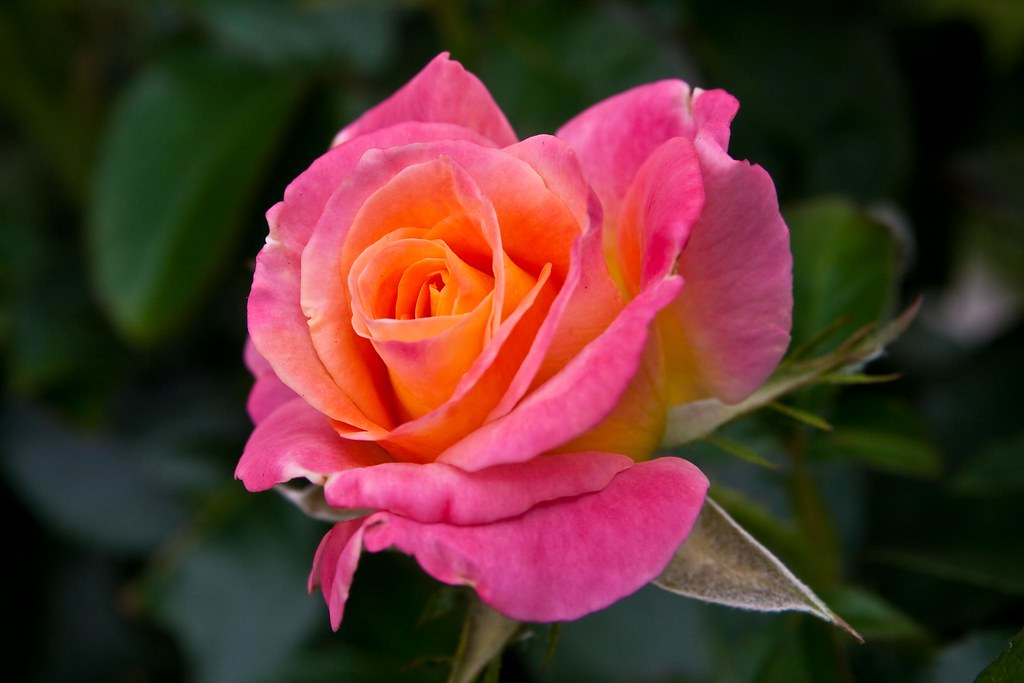 """""""Day Breaker"""" rose"""
