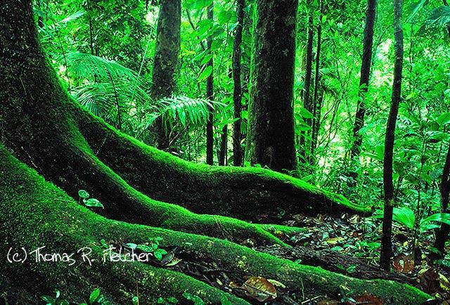 Big Tree Trail, El Yunque