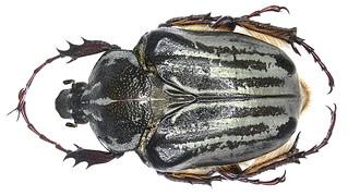 Argyrophegges kolbei Kraatz, 1895  female