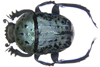 Allogymnopleurus maculosus MacLeay, 1821