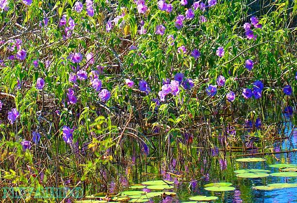 Flores da lagoa. Fortaleza.