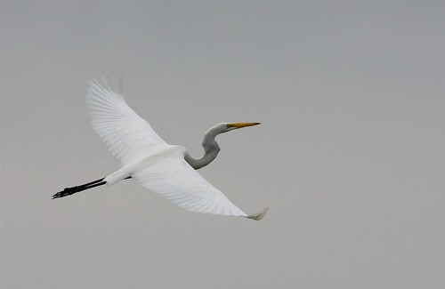 Great White Egret | by Mike Martin, Wildlife Photography