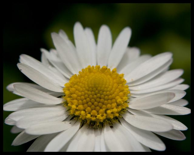 Lesser Daisy Fleabane - 2
