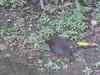 Spotless Crake by wickateers