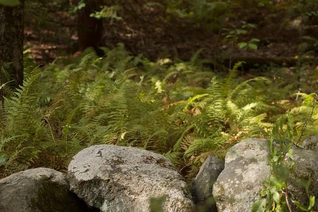 imgp9871 - Dappled Ferns