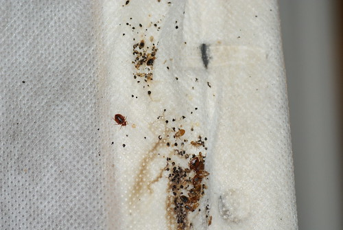Bedbugs and fecal spots