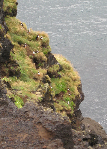 Lots of puffins | by C+H