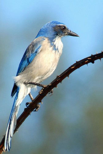 Western Scrub-Jay | by birding4ever