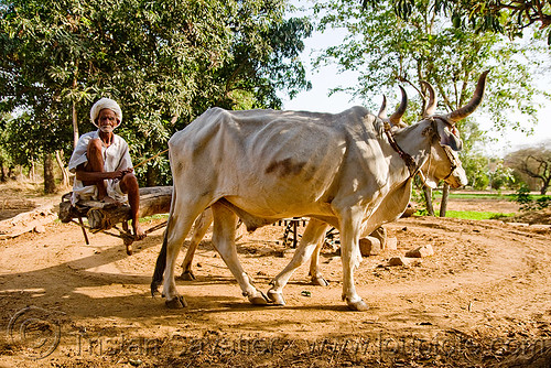 DSC09619 - Man and Oxes operating a water well - Kankrej Cattle (India) | by loupiote (Old Skool) pro