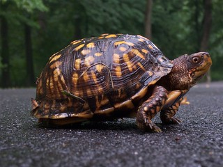 Box turtle on the trail | by ronwalf