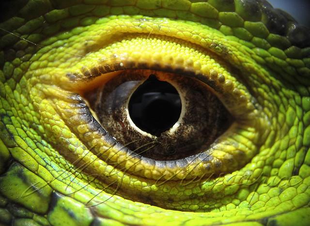 macro oeil-iguane