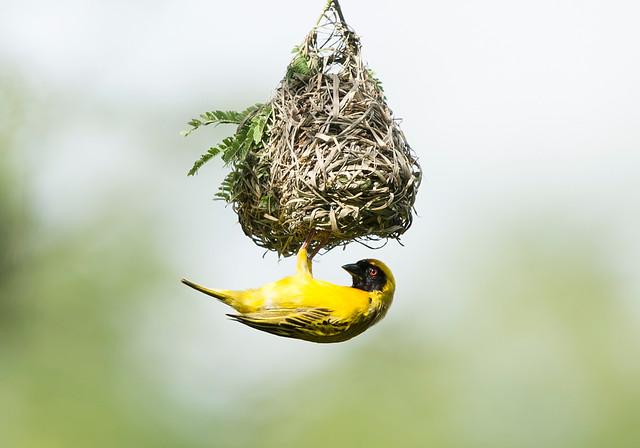 Masked Weaver, Ploceus velatus, Cawston Block, Matebeleland, Zimbabwe