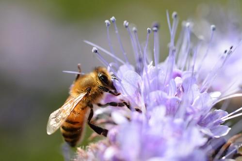 Honey bee | by Gilles San Martin