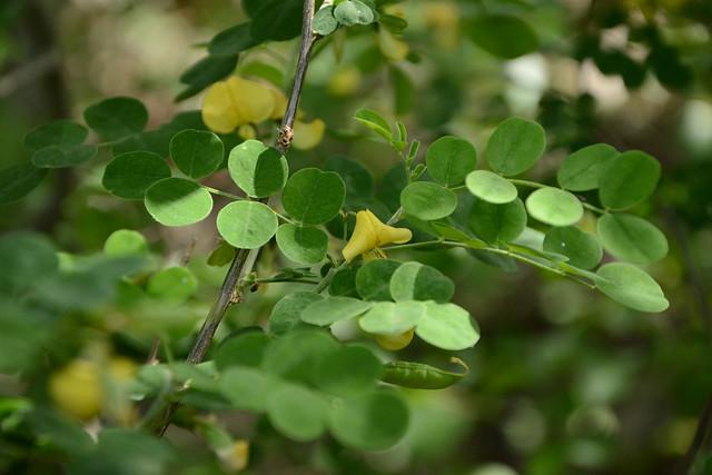 Colutea arborescens - baguenaudier 31772650284_3bf29864f9_z