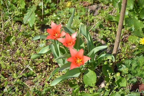 Tulipa - espèces et petits hybrides (sections 12 à 15) 32351446120_27cfa2ab67