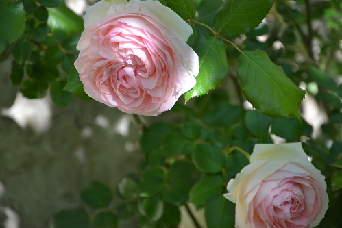 rosier 'Pierre de Ronsard' 32739690781_f87ded9a55