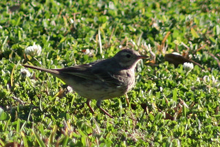 American Pipit (Anthus rubescens rubescens) | by J Scott Ryder