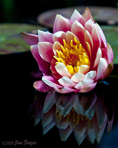 My First Water Lily by Jim Frazee