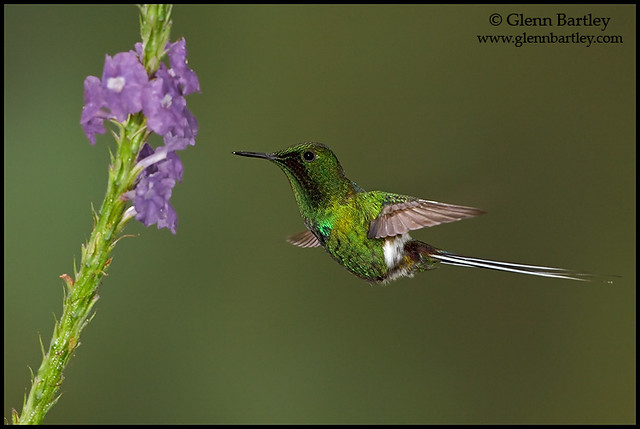 Green Thorntail - 07