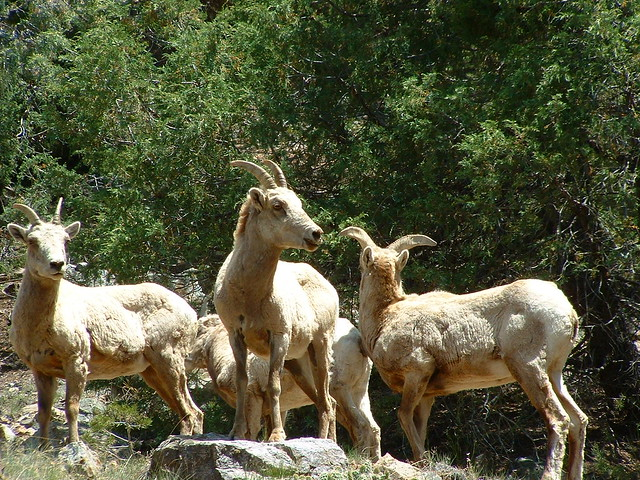 BIGHORNS of the Sangre de Cristo Mountains