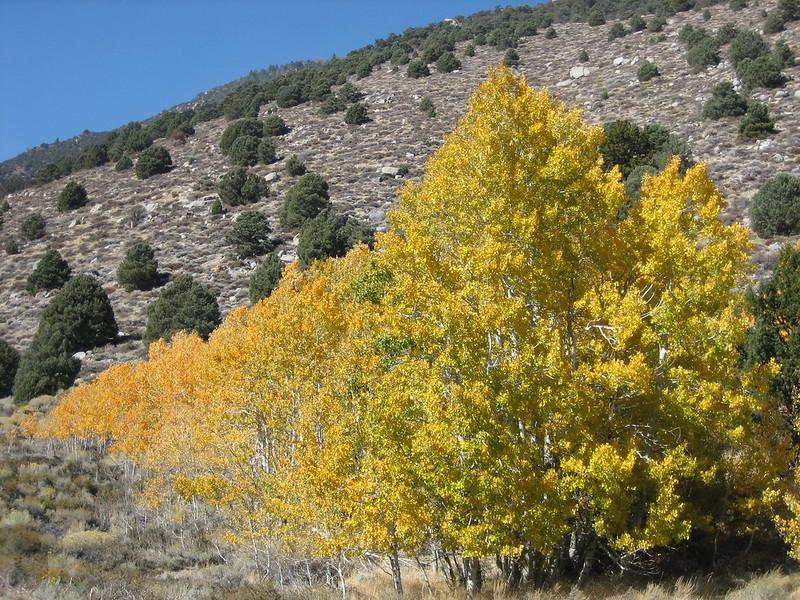 Aspen Trees - Tioga Pass