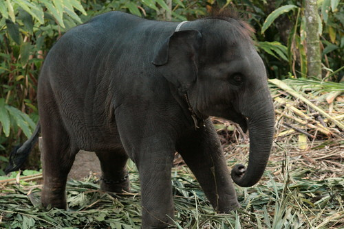Baby Elephant. Kumarakom (Kerala)   by celblau