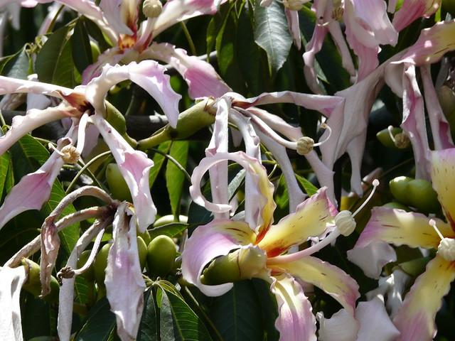 Chorisia speciosa, flores