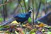 Palawan Peacock-Pheasant - Palawan Philippines_H8O0751-54 by fveronesi1