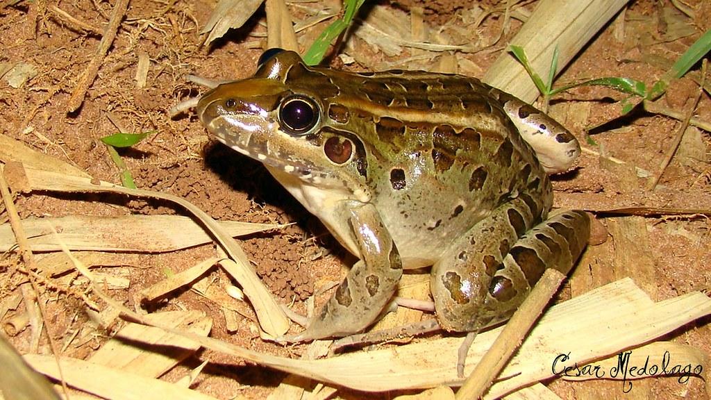 Leptodactylus ocellatus