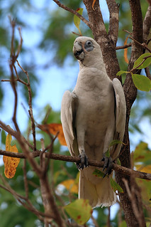 Little Corella | by dmmaus