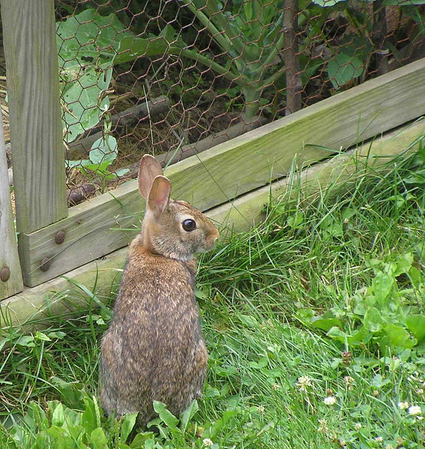 Rabbit At My Small Kitchen Garden Fence Rabbits Spend A Lo Flickr