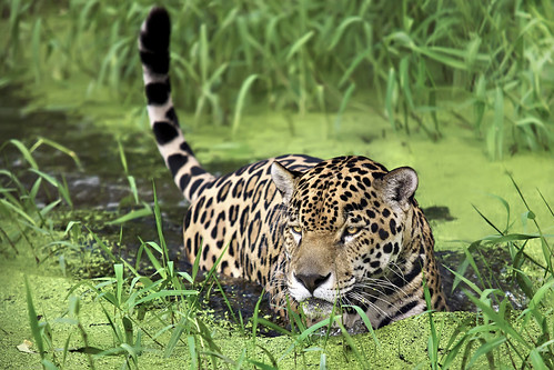 green water feline swamp jaguar félin canon70200mmf28l frenchguiana specanimal theperfectphotographer montsinnery guyanefrançaise 1ininterestingnesson20090112thankyou