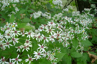 white star flowers | by so wabi sabi