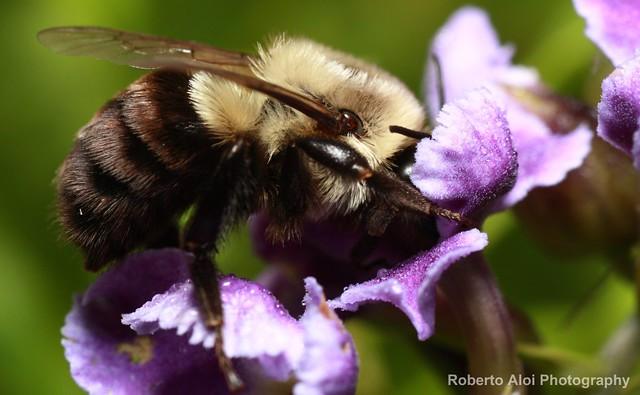 Bumblebee Closeup 2